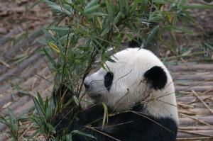 panda eating bamboo shoots